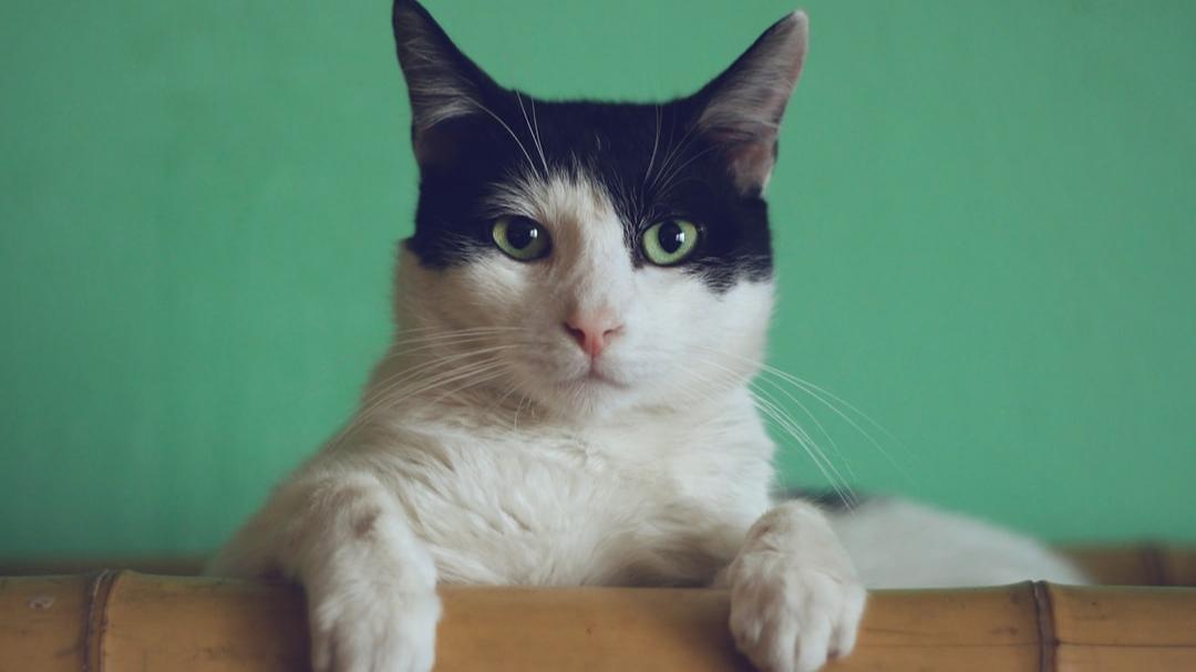 VISIONARY - Boss Cat